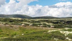 四只绵羊在小山的背景中 从国民的看法 库存照片