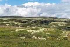 四只绵羊在小山的背景,挪威中 库存照片