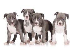 四只美国斯塔福德郡狗小狗 库存照片