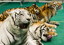 四只老虎 免版税图库摄影
