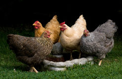 四只自由放养的矮小的母鸡 图库摄影