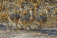 四只逗人喜爱的小驼鸟在埃托沙国家公园 免版税库存照片