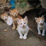 四只逗人喜爱的小离群白色和姜小猫 免版税库存照片