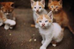 四只逗人喜爱的小离群白色和姜小猫 库存图片