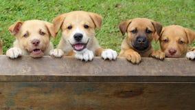 四只逗人喜爱的新几内亚唱歌狗混合小狗 免版税库存图片