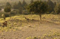 四只野山羊在橄榄树小树林里吃草 免版税库存照片