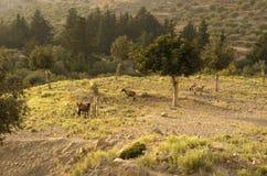 四只野山羊在橄榄树小树林里吃草 库存照片