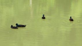 四只野鸭在肮脏的水中平安地漂浮 股票录像