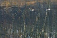 四只野鸭鸭子 免版税图库摄影