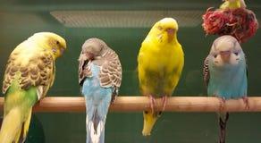 四只长尾小鹦鹉 免版税图库摄影