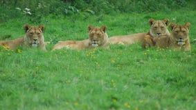 四只雌狮 库存图片