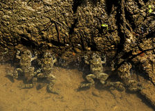 四只青蛙在水中 免版税库存图片