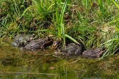 四只青蛙肩并肩坐 库存图片