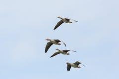 四只飞行的灰色鹅分析服务公司分析服务公司白色天空 免版税库存图片