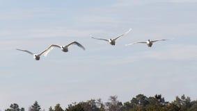 四只飞行的疣鼻天鹅,下面森林 库存图片