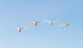四只飞行的疣鼻天鹅 库存图片