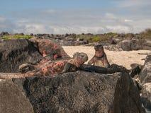 四只鬣鳞蜥 库存图片