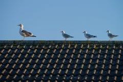 四只鸥坐屋顶 免版税图库摄影