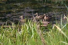 四只鸭子在夏时的池塘 免版税库存照片