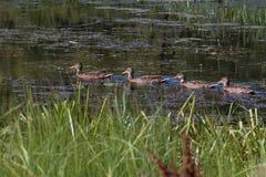 四只鸭子在夏时的池塘 免版税库存图片