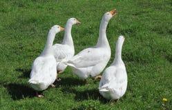 四只鹅草甸 免版税库存照片