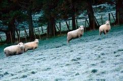 四只绵羊在绵羊农厂驻地的小牧场聚集 免版税图库摄影