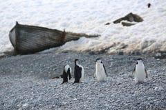 四只Chinstrap企鹅在南极洲 免版税库存照片