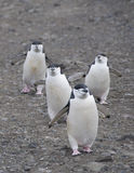 四只chinstrap企鹅 免版税库存照片