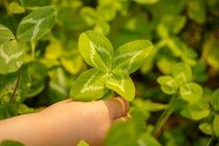 四叶三叶草 有4片叶子的一棵植物 运气, happi的标志 免版税库存图片