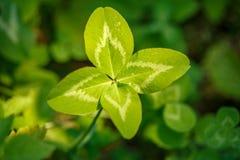 四叶三叶草 有4片叶子的一棵植物 运气, happi的标志 免版税库存照片