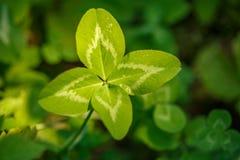 四叶三叶草 有4片叶子的一棵植物 运气, happi的标志 库存照片