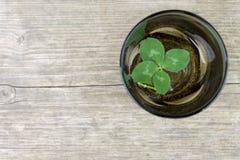 四叶幸运的三叶草,在一个碗的三叶草在老减速火箭的葡萄酒木背景的水与拷贝空间 免版税图库摄影
