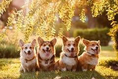 四在日落的小狗 免版税库存照片