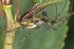 四地点天体织工(Araneus quadratus) 库存照片