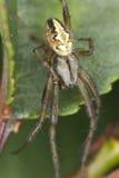 四地点天体织工(Araneus quadratus) 免版税库存照片