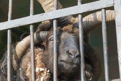 四块垫铁公羊 免版税库存图片