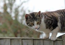 四处觅食在篱芭的猫 图库摄影