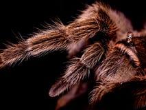 四处觅食的塔兰图拉毒蛛 库存照片