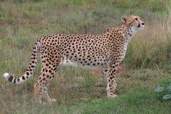 四处觅食的猎豹 免版税库存图片