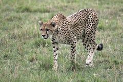 四处觅食的猎豹 图库摄影