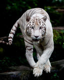 四处觅食的老虎白色 免版税库存图片