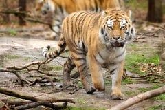 四处觅食的老虎 免版税库存照片