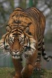 四处觅食的老虎 免版税库存图片