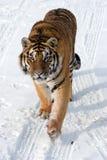 四处觅食的西伯利亚老虎 免版税库存图片