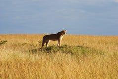 四处觅食的雌狮 库存图片