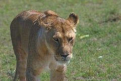 四处觅食的雌狮 免版税库存图片
