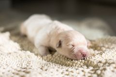 四天年纪逗人喜爱的金毛猎犬小狗画象在毯子说谎 白色逗人喜爱的新出生的小狗睡觉 免版税库存图片