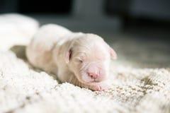 四天年纪金毛猎犬小狗特写镜头在毯子说谎 逗人喜爱的白色新出生的小狗睡觉 免版税库存图片