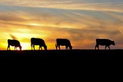 四头母牛由在小山的日落sihouetted 库存照片