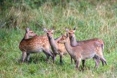 四头母Sika鹿在一个森林里在丹麦,欧洲 库存照片